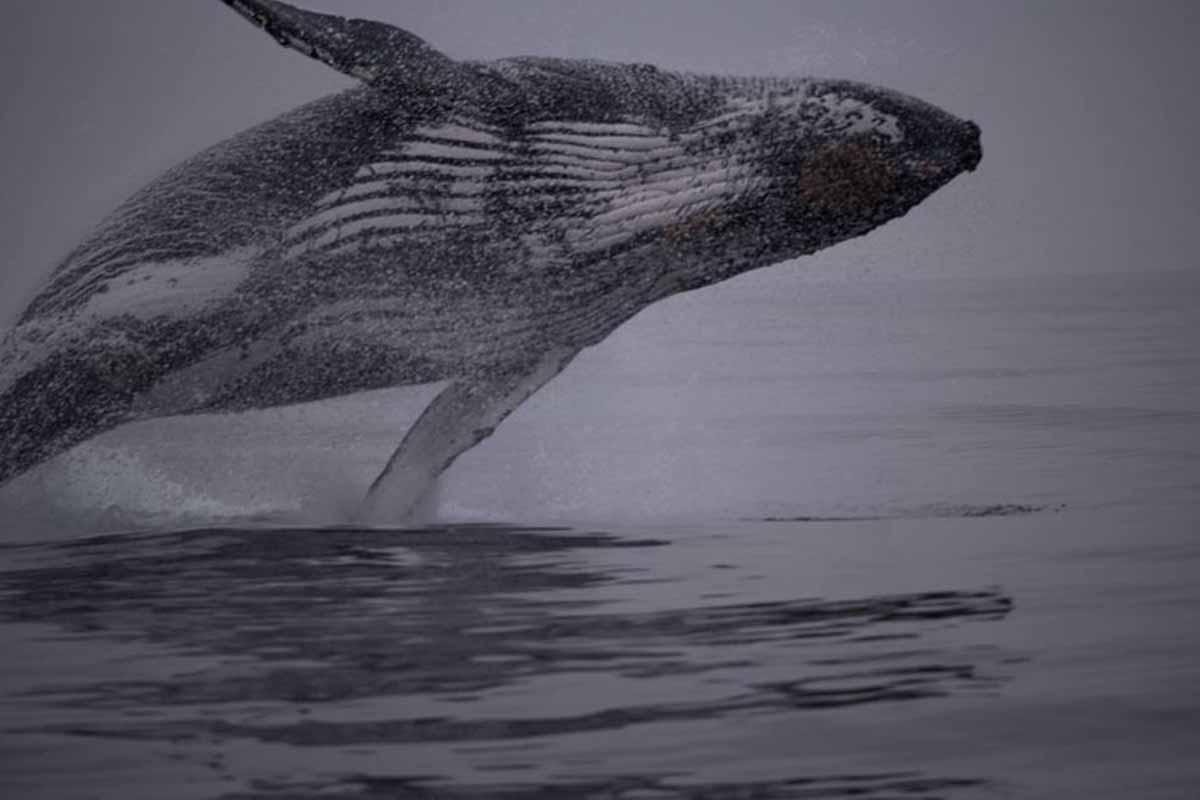 Semana de Vela de Ilhabela na companhia de baleias boat shopping