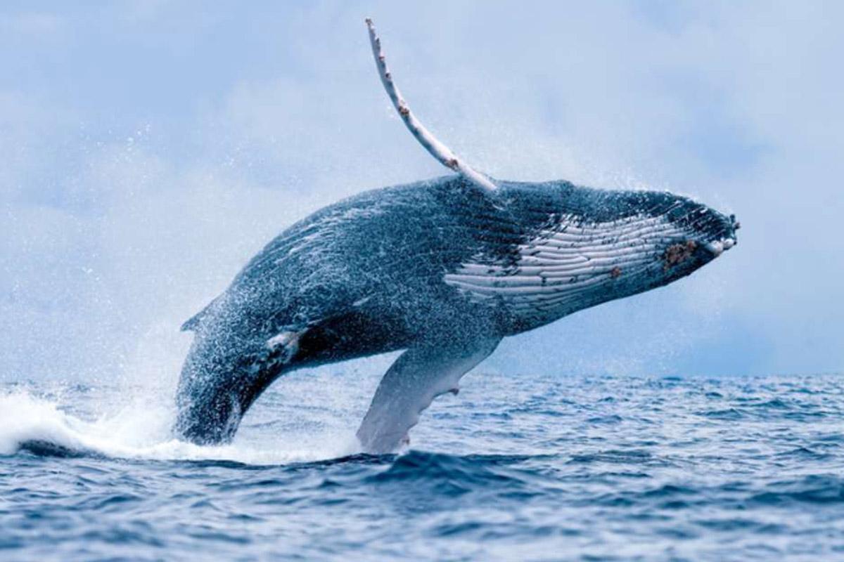 baleia-jubarte-salta-em-barco-na-australia-boatshopping